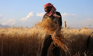 A Syrian man harvests wheat in a field.