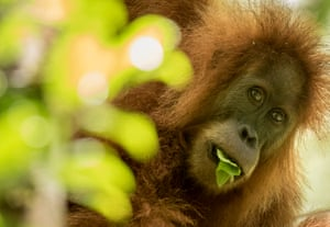 A new species of great ape – the Tapanuli orangutan