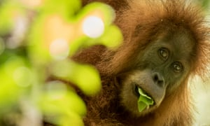A new species of great ape – the Tapanuli orangutan – is down to just 800 individuals.