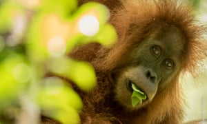 A new species of great ape –the Tapanuli orangutan –only has 800 remaining members.