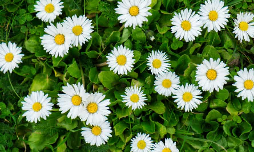 Lawn daisies: a source of pollen and nectar.