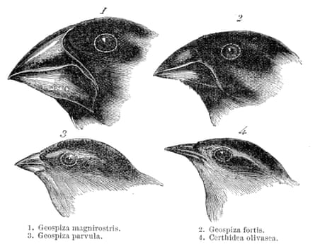 Four of the species of finch observed by Darwin on the Galápagos Islands, showing variation of beak.