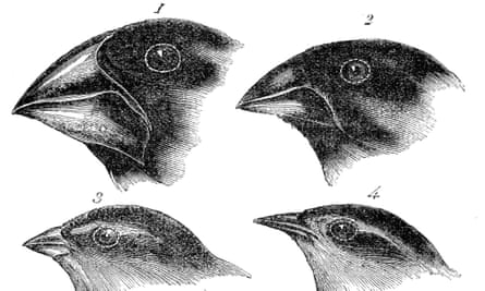Four or the species of finch observed by Darwin on the Galapagos Islands