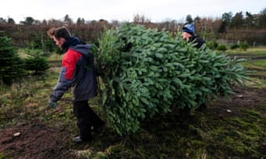 Firs and spruces being harvested in York.