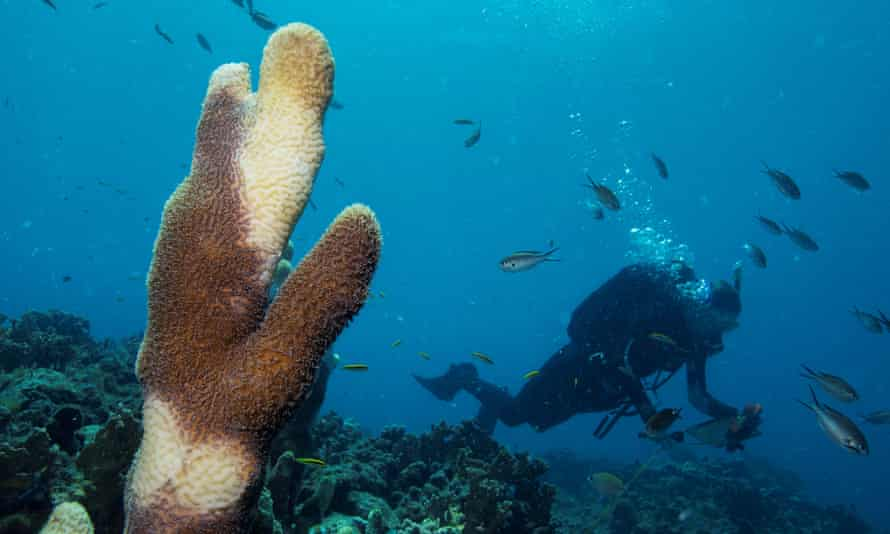 a Pillar coral (Dendrogyra cylindricus) showing tissue loss caused by Stony Coral Tissue Loss Disease (SCTLD)