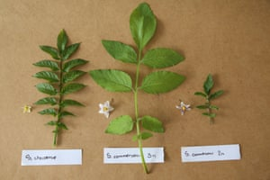 Wild potatoes or 'batatas' collected and preserved at Embrapa Clima Temperado in Brazil.