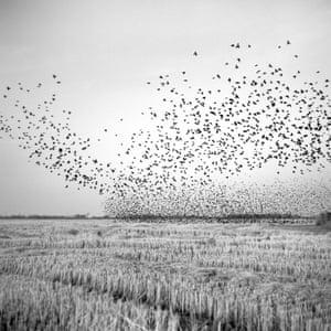 A flock of black birds swarm over a harvested field near Mound Bayou, December 2010