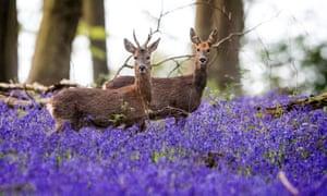 Deer roam through bluebells in Micheldever Wood, Hampshire.