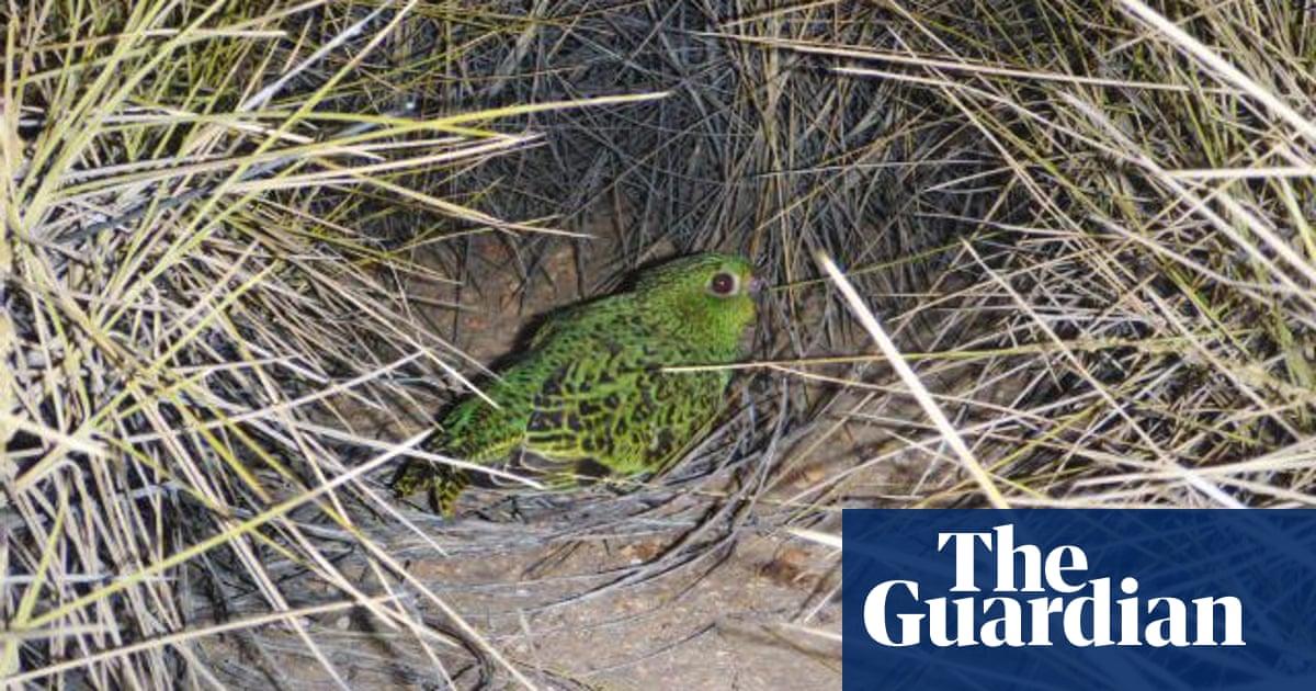 Australian night parrot legend lives on but bird remains as elusive