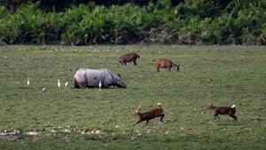 A group of Hog deer graze near an Indian one horned Rhino in Kaziranga national park