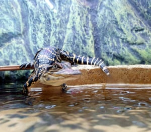 Highly commended, In the Moment - People's choice category: Perfectly Poised, by Clare Wilkie at Crocodiles of the World. Species: American alligator