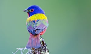 Painted buntings are often seen in Florida's state parks.