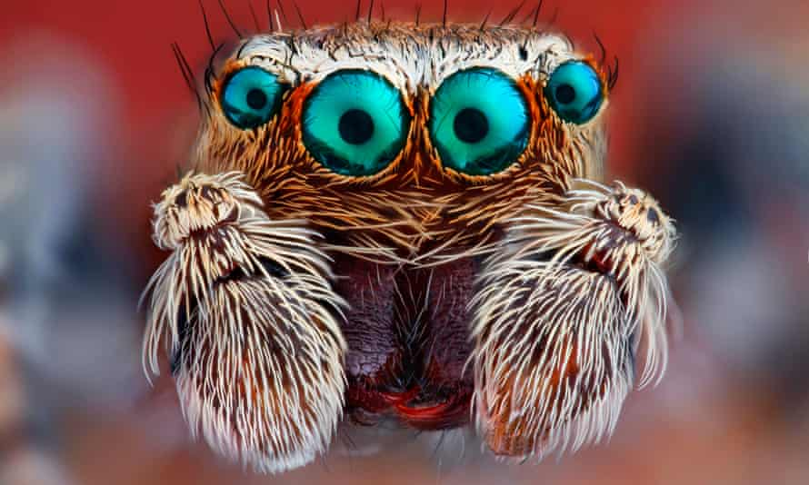 A closeup of a jumping spider