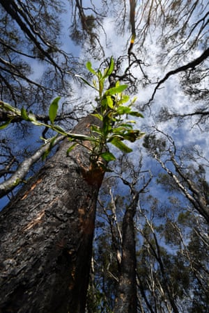Sunshine Coast, Australia: Green shoots sprouting from trees hit by bushfires at Peregian Beach