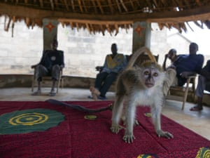 A captive monkey, one of the last remaining in Mount Tia forest reserve, Ivory Coast.