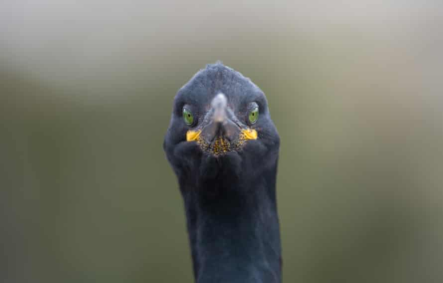 A shag (bird) on the Farne Islands faces Andrew's camera. Northumberland.