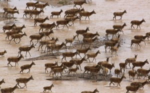 A herd of Tibetan antelope ewes migrate to a breeding area at Changtang national nature reserve in Tibet