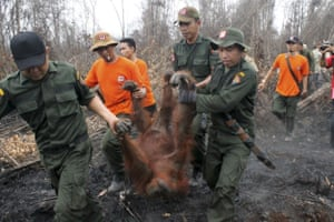 A 19-year-old female orangutan is evacuated from forest fire area in Indonesia