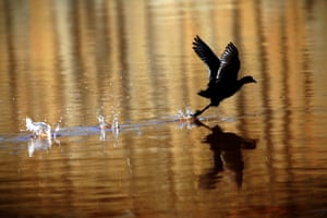 A coot flies above the water during a rainy day in the West Bank city of Jenin.