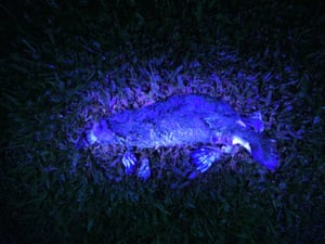 A platypus illuminated by ultraviolet light.