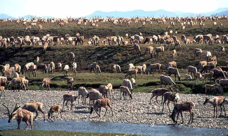 'The refuge includes the birthing grounds of the Porcupine caribou herd, as well as the prime denning area for the Beaufort Sea polar bears (a threatened species, numbering only 900).'