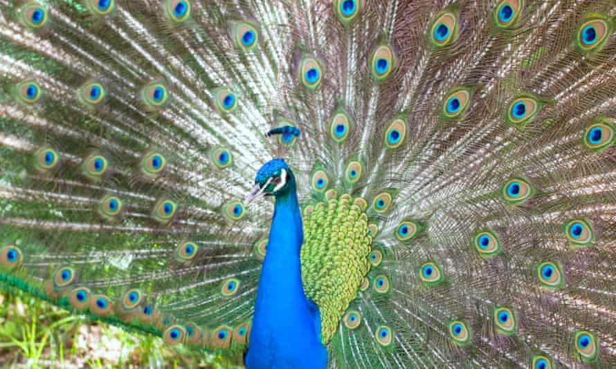 A peacock presenting its tail