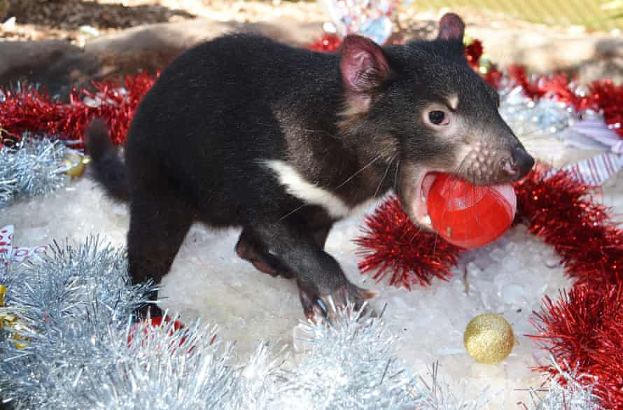 A Tasmanian devil at the Australian Reptile Park in NSW is treated to ice – and Christmas decorations – during during hot weather on Tuesday.