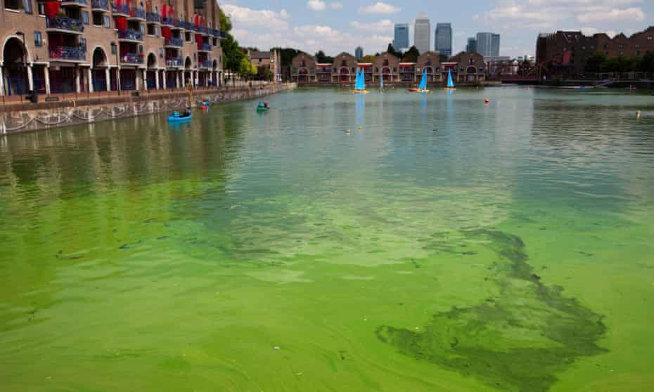 Swimmers beware: toxic blue-green algae in Shadwell Basin, east London.