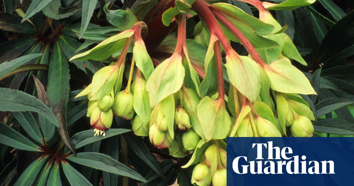 Plant Of The Week Stinking Hellebore Life And Style The Guardian