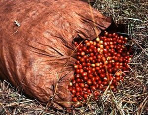 "A bag of coffee ""cherries"" from an estate in Kenya lie, partially opened, on the ground."