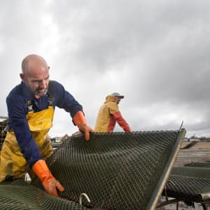 Harvesting oysters at Whitstable Oyster Company farm from trestle tables 50m offshore.