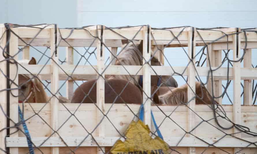 Some of the 40,000 horses flown to Japan in similar crates from Canada since 2013. Canadian law allows them to be exported without food, rest or even water for up to 28 hours.