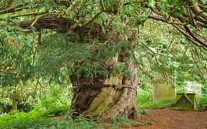 The Beltingham Yew in Northumberland. Said to be at least 900 years old, the tree stands in the graveyard of St Cuthbert's church. It's a famously sacred site because St Cuthbert's body is said to have been hidden here while on its journey from Lindisfarne to Durham Cathedral to keep it from Viking raiders