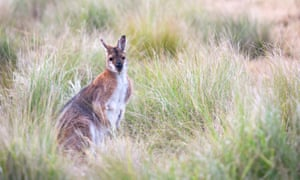 A male red-necked wallaby