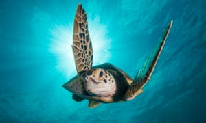 A green turtle off the coast of Borneo in Blue Planet II.