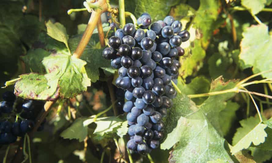 Bunch of syrah grapes