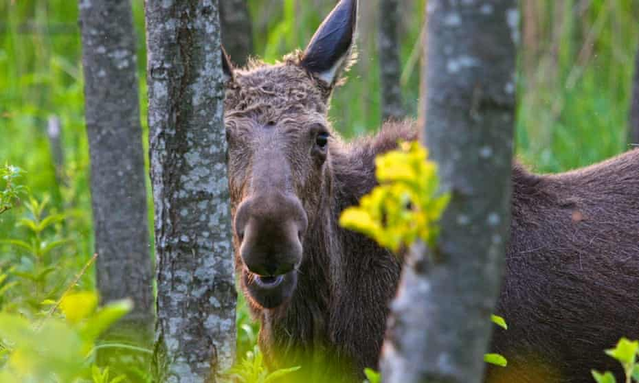 Elk are numerous in Biebrza national park