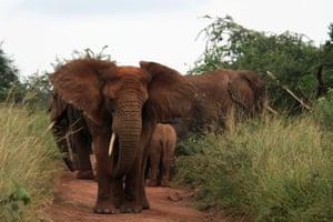 Elephants block a road in Akagera national park, eastern Rwanda