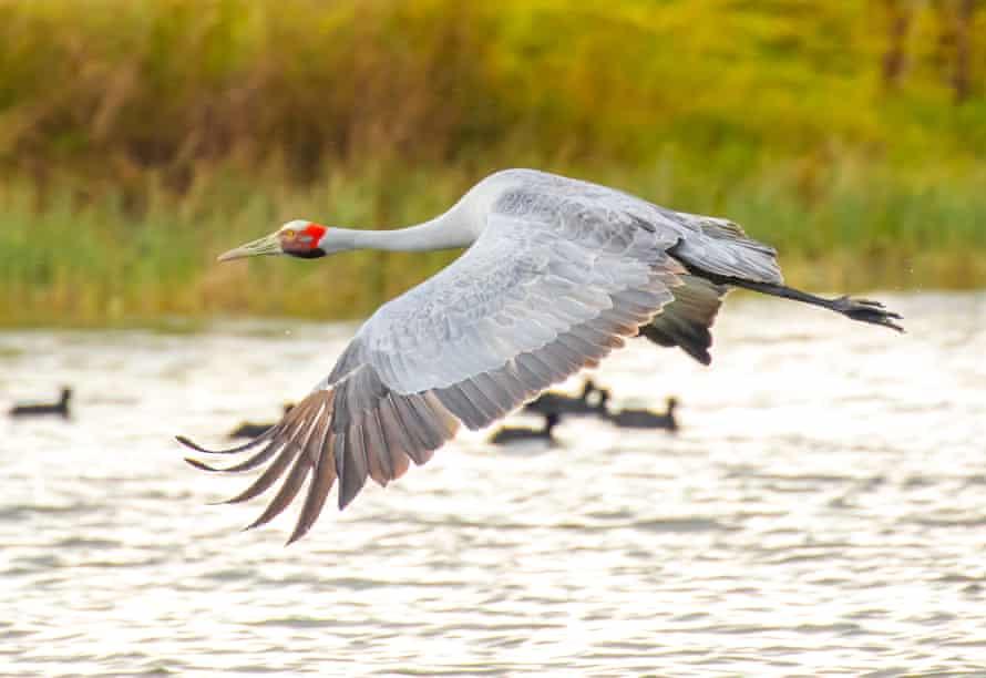 A brolga in flight.