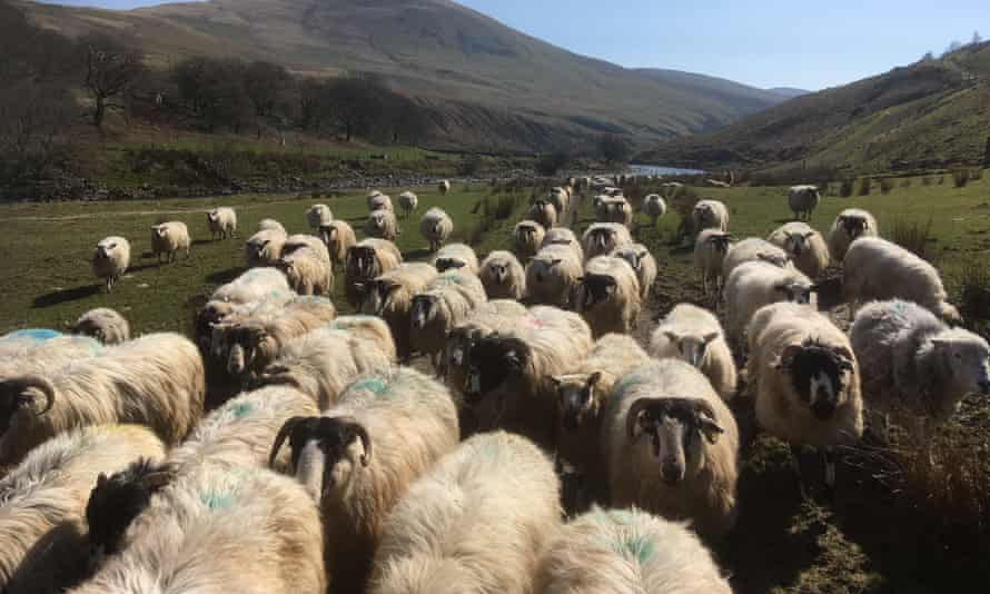 Rough fell sheep return for lambing