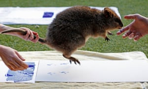 If only we could do this with extinct animals - Zookeepers take the footprints of a Quokka at Taronga Zoo in Sydney.
