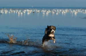 Heacham, EnglandA dog goes for an early morning paddle in the sea off the Norfolk coast as the hot weather makes a return.