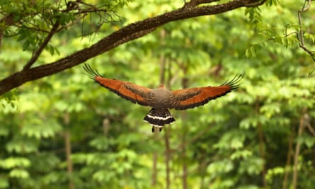 A savannah hawk flies down a jungle glade in the Kanuki mountains, Guyana