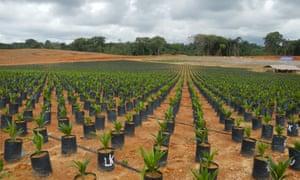 A Golden Veroleum Liberia (GVL) plantation in Liberia.