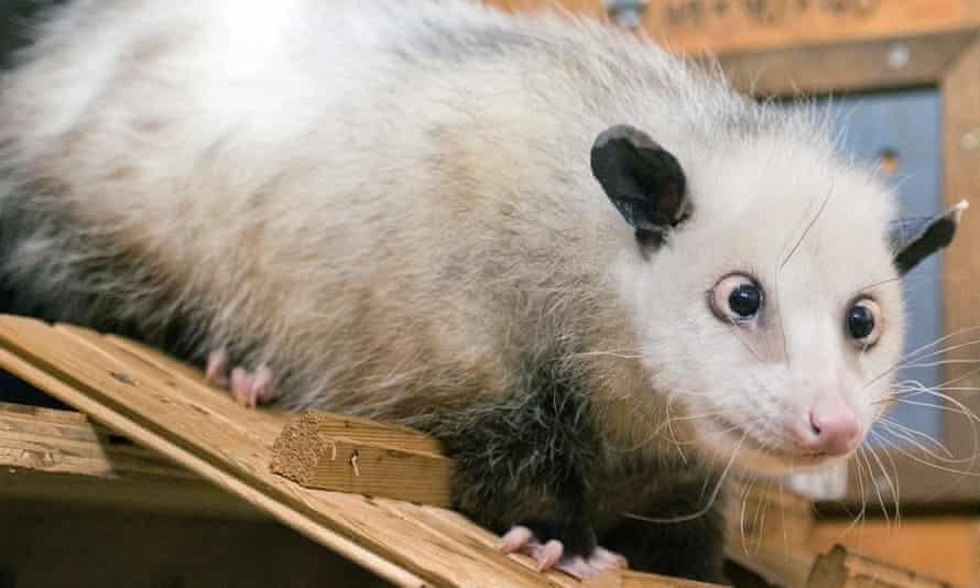 Cross-eyed opossum Heidi explores her enclosure at the zoo in Leipzig, Germany, 14 December 2010. The female opossum was born in May 2008 in Odense, Denmark. She will move into the new tropcial house at the zoo in 2011.