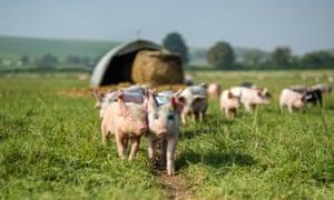 Piglets on Eastbrook Farm