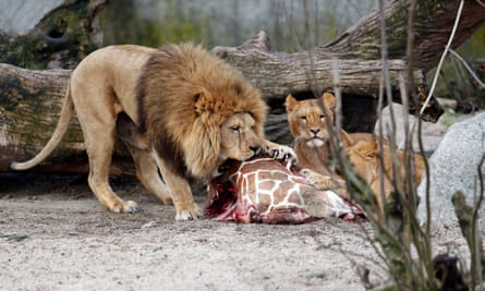 The carcass of Marius the giraffe is fed to lions at Copenhagen zoo