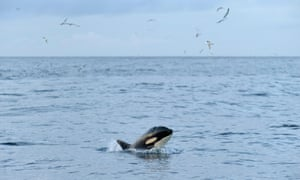 A killer whale following a fishing trawler near the Shetland Isles in October 2012. The UK's last resident pod has not produced a calf in 19 years.