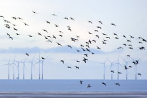 Barnacle geese on the Solway Firth, Dumfries, Scotland, with the Robin Rigg offshore wind farm in the distance.