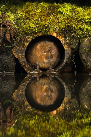 Vole in a hole
